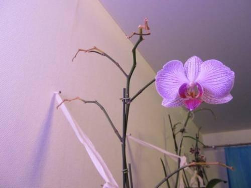 Уход за орхидеей после цветения: нужно ли обрезать цветонос, как лучше это сделать