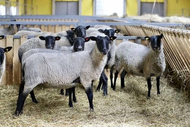 Бараны и овцы романовской породы — описание, характеристика, условия содержания. | cельхозпортал