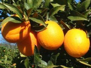 Сорта апельсинов горьких и кислых на фото: вашингтон навел, валенсия, королевский и севильский