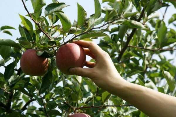 Как и когда собирать яблоки: приспособление своими руками