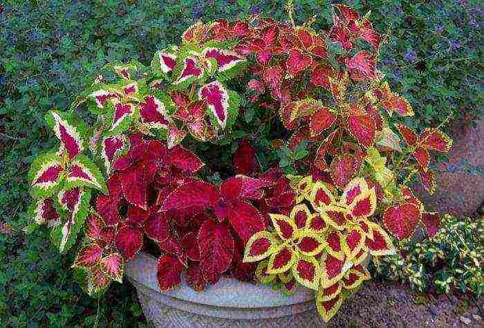 Колеус: выращивание из семян, посадка и уход в домашних условиях