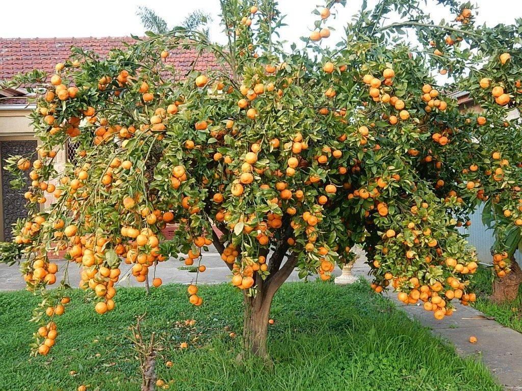 Мандарин: выращивание из косточки в домашних условиях. как прорастить косточку мандарина - sadovnikam.ru