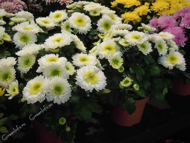 Уход за хризантемой в домашних условиях, выращивание в горшке, сорта, фото