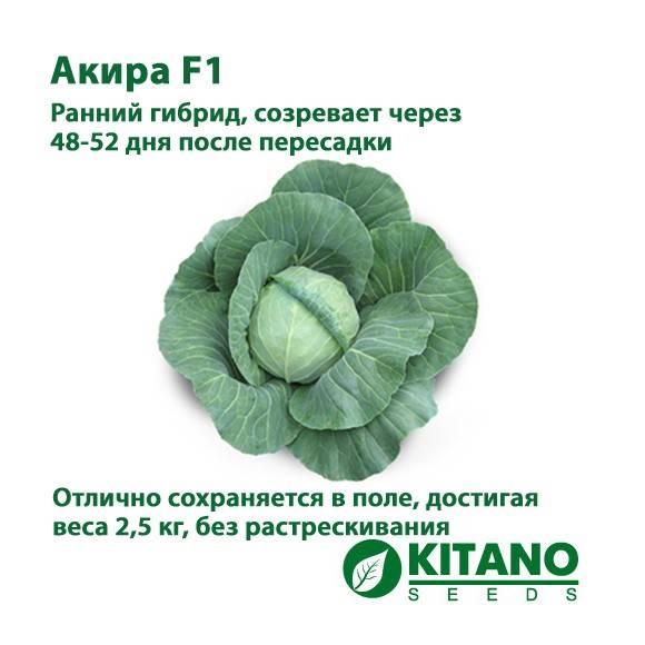Характеристика ранней капусты сорта Акира f1