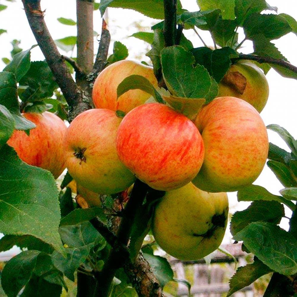 """Яблоня """"осенняя радость"""": посадка и уход, описание сорта и фото selo.guru — интернет портал о сельском хозяйстве"""