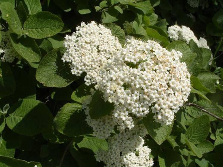О сорте калины гордовина: описание, особенности выращивания, посадка и уход