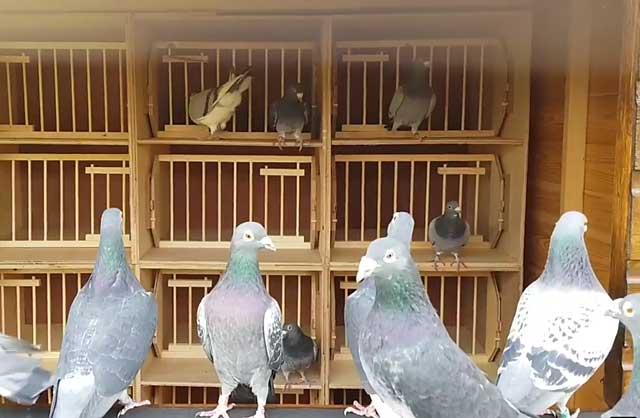 Как давать «родотиум» голубям