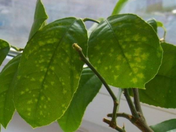 Щитовка на комнатных растениях – как бороться, почему появляется + фото