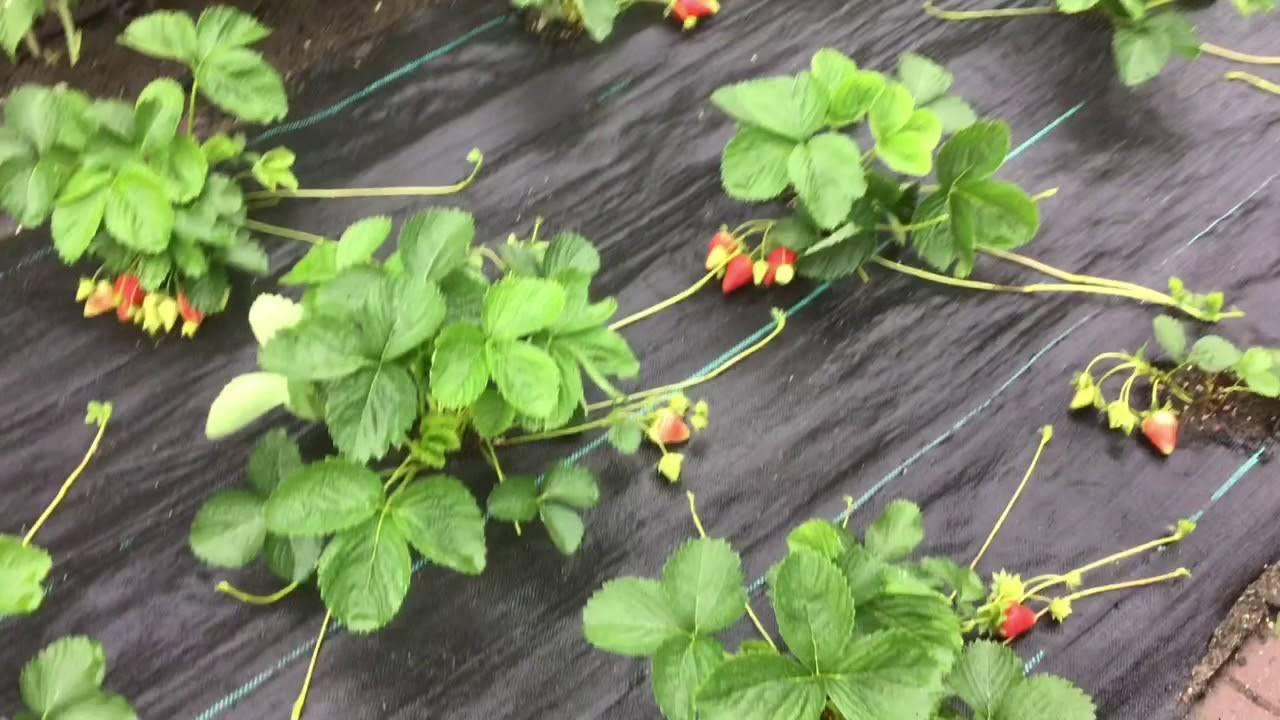 Клубника мурано: описание сорта, фото, отзывы садоводов