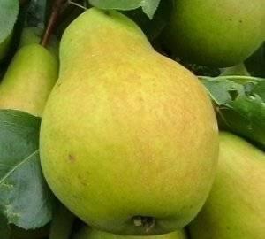 Груша для урала: лучшие сорта с описанием, как выбрать, правила выращивания