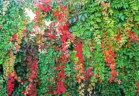Виноградовник (33 фото): разнолистный и короткоцветоножковый, виноградолистный и японский, уссурийский и аконитолистный, выращивание ампелопсиса