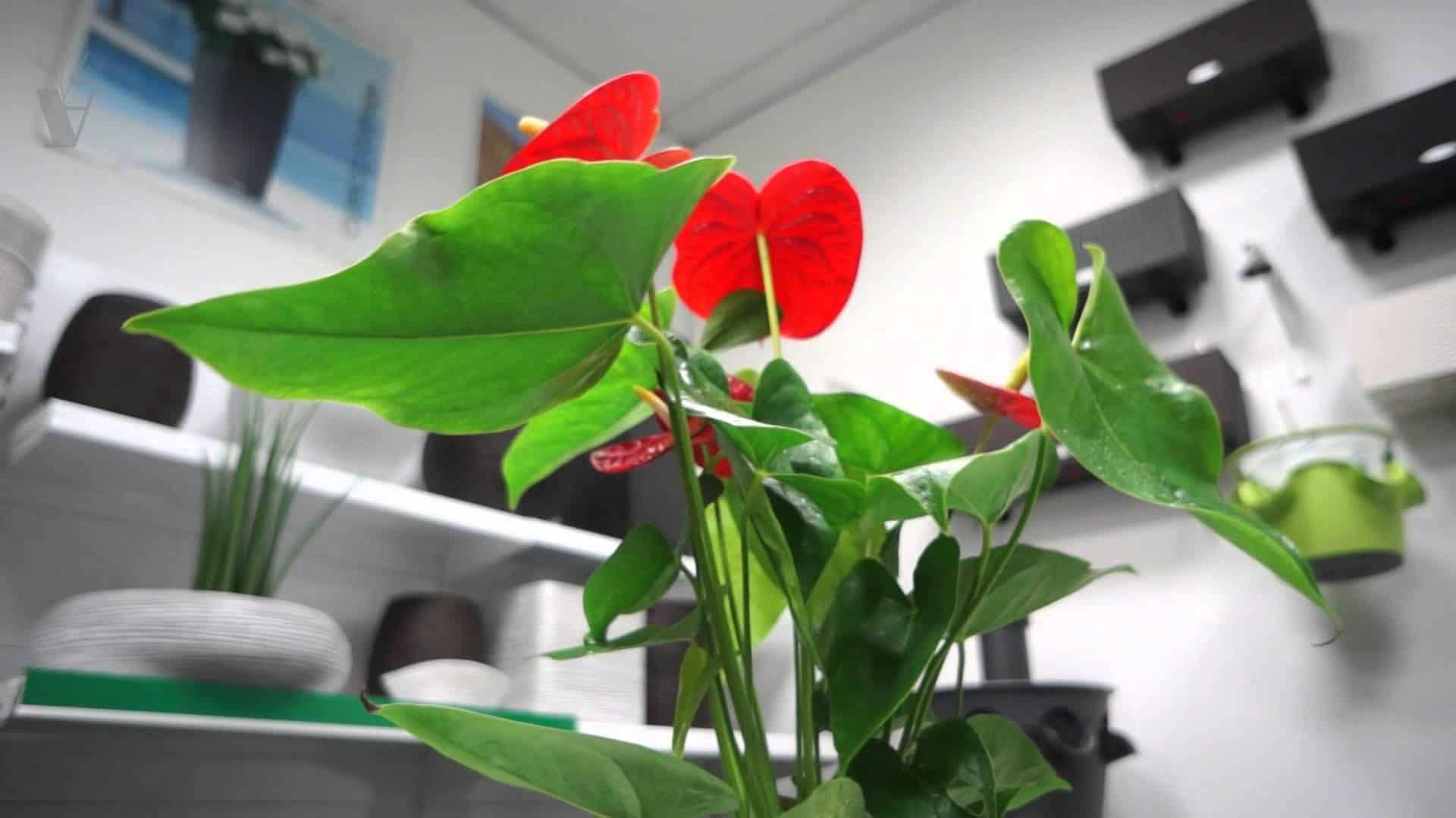 Антуриум домашний - фото, уход, условия выращивания, размножение