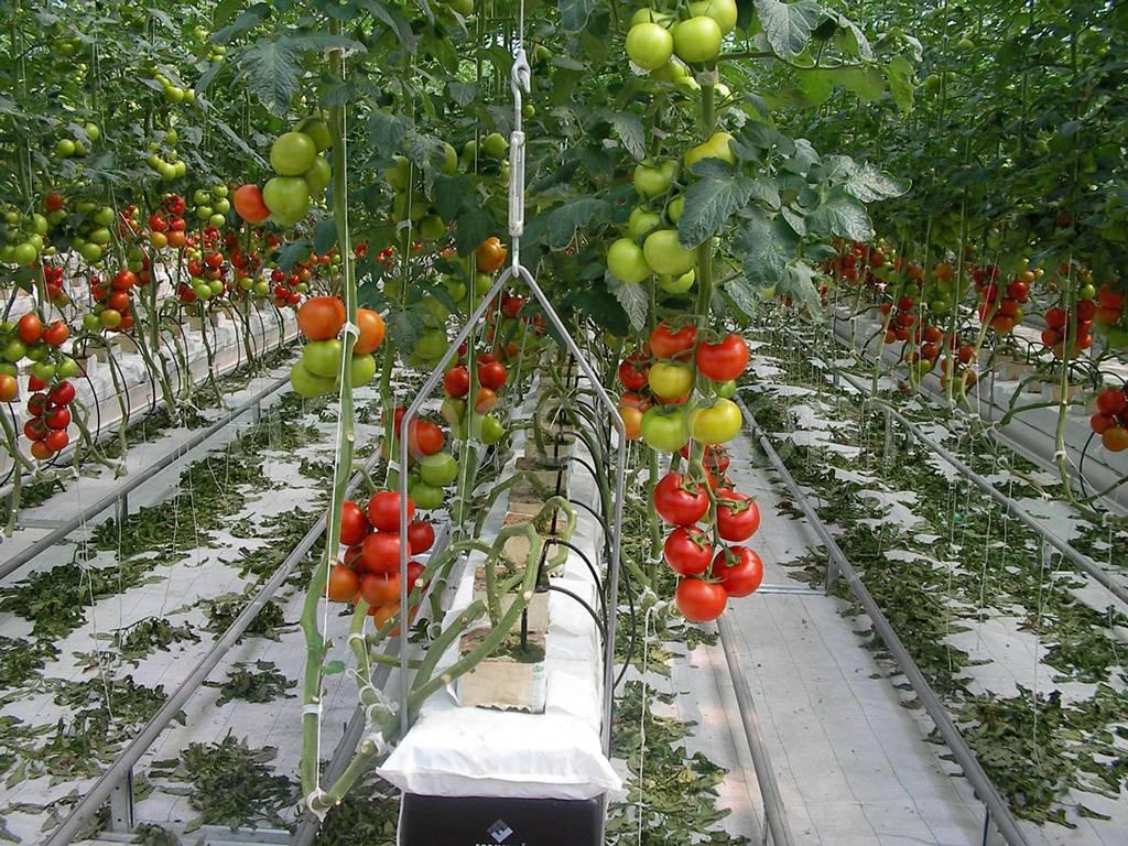Капельный полив помидор (в теплице): система, как сделать своими руками, из бутылок, отзывы