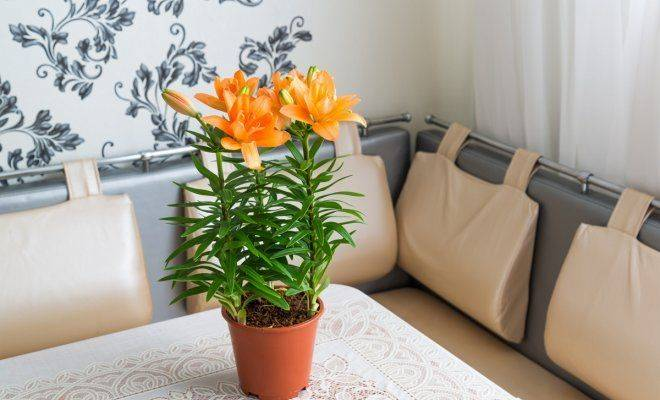 Лилии — посадка и уход в открытом грунте, сорта, правила размножения