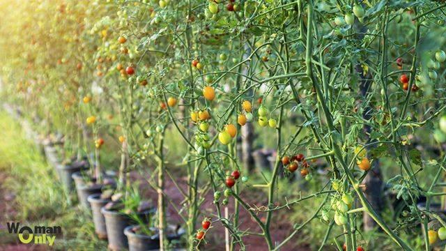 Помидорное дерево - как вырастить в домашних условиях, на открытом грунте