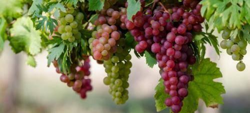 Как и когда укрывать виноград на зиму