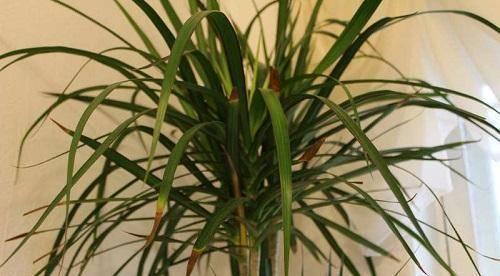 Причины и методы лечения усыхания кончиков листьев у драцены