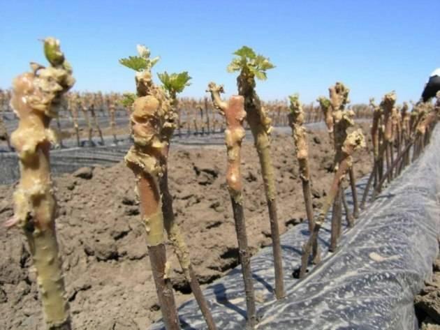 Проращивание и укоренение черенков винограда: как правильно посадить и вырастить виноград из черенка