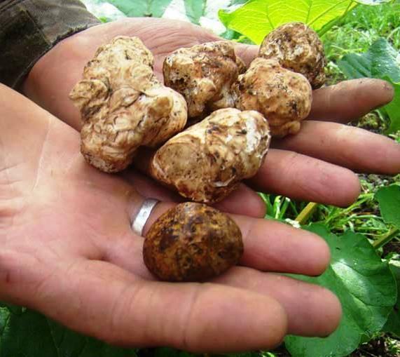 Где в россии растут трюфели и когда их собирают
