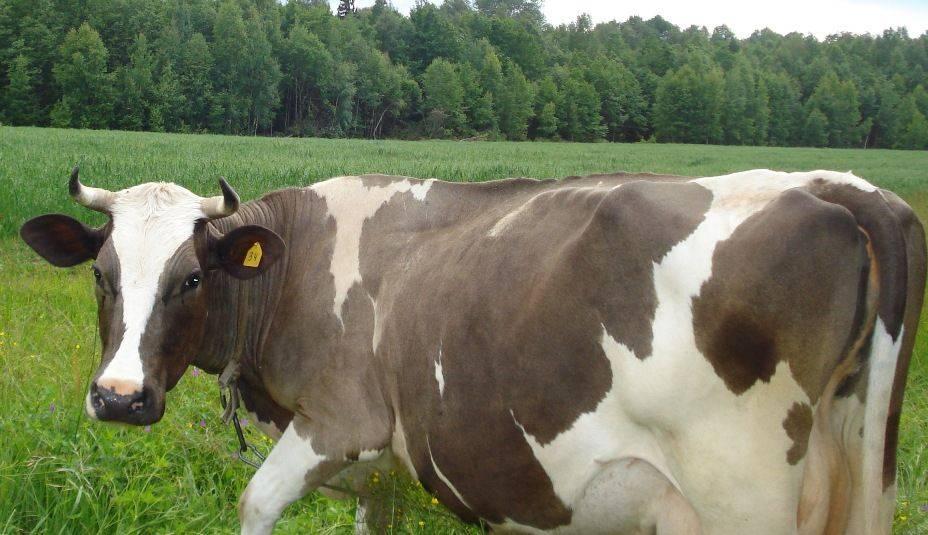 Костромская порода коров: характеристики, быки импортной селекции