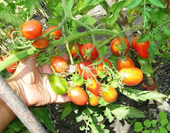 Помидоры «паленка»: фото и описание гибридного сорта томата