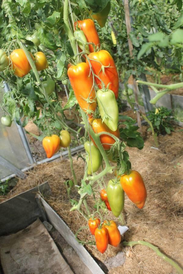 Отличительные черты и особенности томата корнабель
