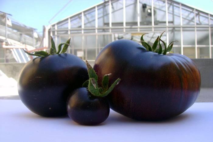 Выращиваем помидоров сорта «черный принц»