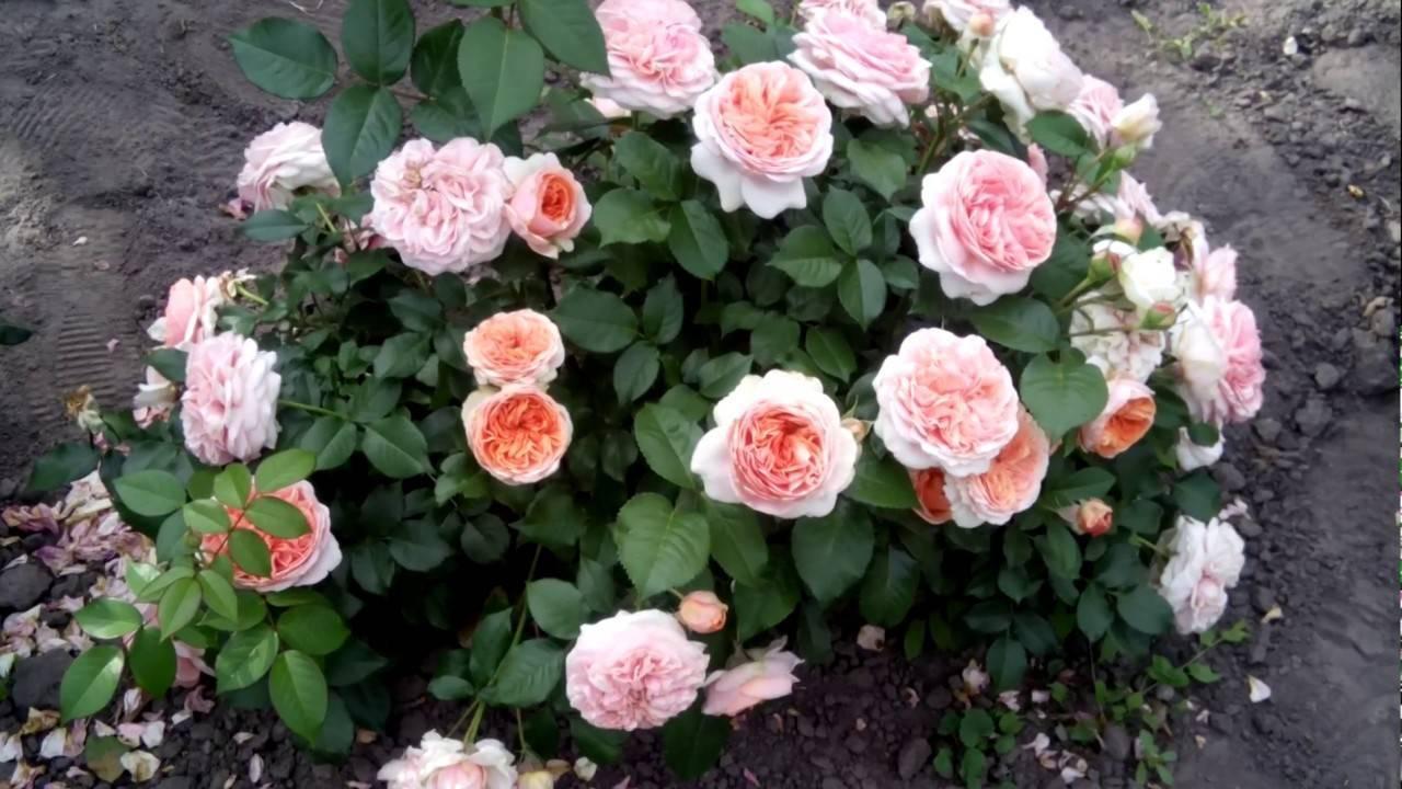 Роза чиппендейл (chippendale): описание сорта, фото, отзывы, посадка и уход, видео