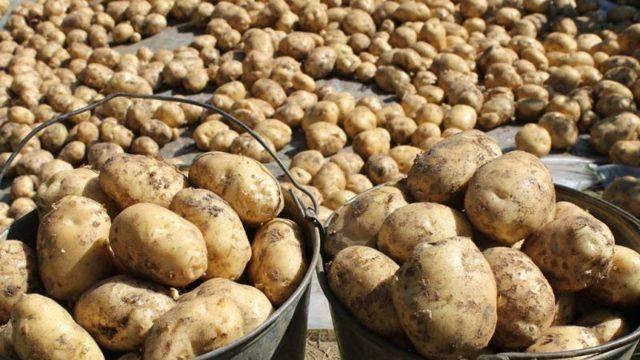 Винета картофель – описание сорта + видео