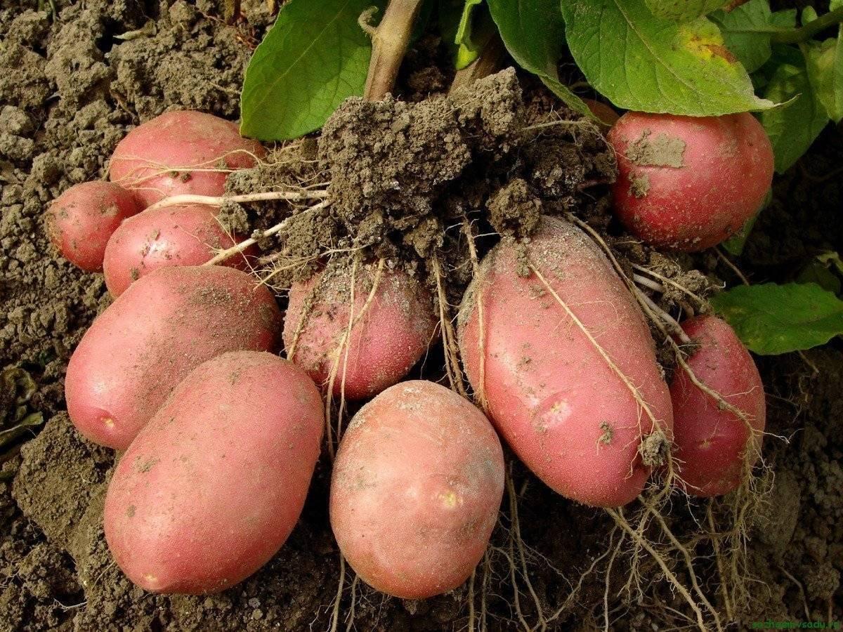 Китайский способ выращивания картофеля пошагово с фото и видео