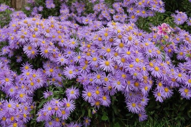 Как выращивать сентябринки в саду и советы по уходу за цветами