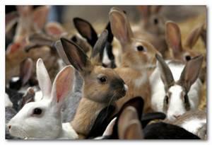 Разведение кроликов как бизнес: плюсы и минусы, бизнес-план