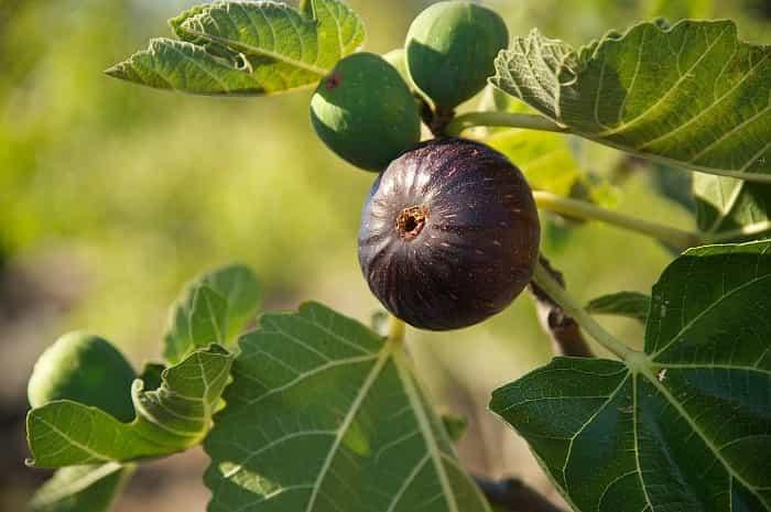Инжир: выращивание и размножение в домашних условиях