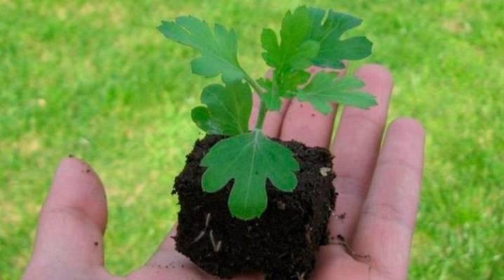Семена хризантем: описание с фото, виды, особенности посадки, выращивания и ухода