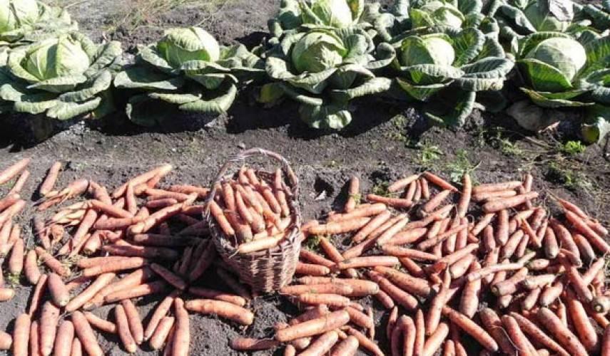 Перечень сортов моркови, предназначенных для длительного хранения