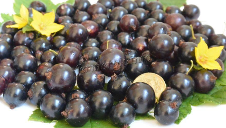 Сорт смородины черный жемчуг - описание, уход, фото