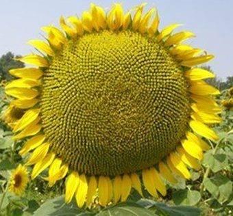 Декоративный подсолнух – солнечные цветы на садовом участке