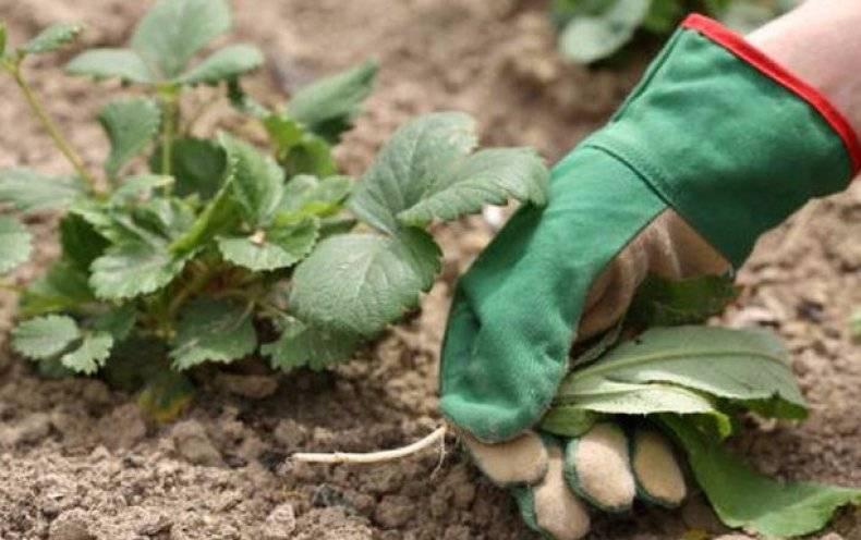 Чем опрыскать клубнику от вредителей и болезней ранней весной