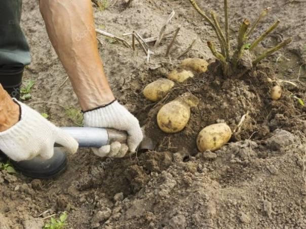 Скашивание ботвы картофеля перед уборкой — повышение качества урожая