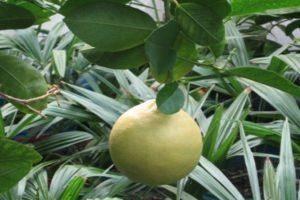 Лимон новозеландский в домашних условиях: описание, фото