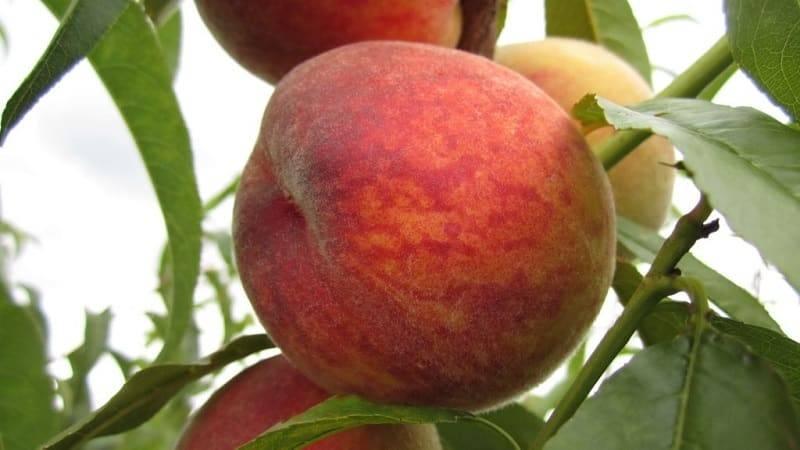 Посадка и уход за персиком в подмосковье