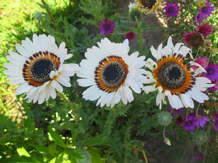 Адениум: уход в домашних условиях, выращивание из семян, сорта с фото