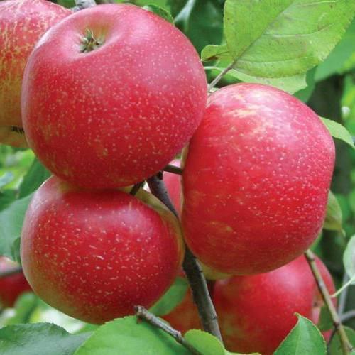 Сорт яблони хани крисп: описание, фото