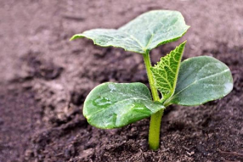 Выращивание огурцов: правила посадки и ухода | cельхозпортал