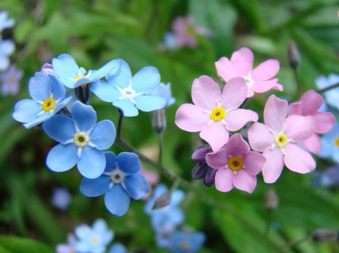 Незабудка — разве такое забудешь? описание, выращивание, размножение. цветок, фото — ботаничка.ru