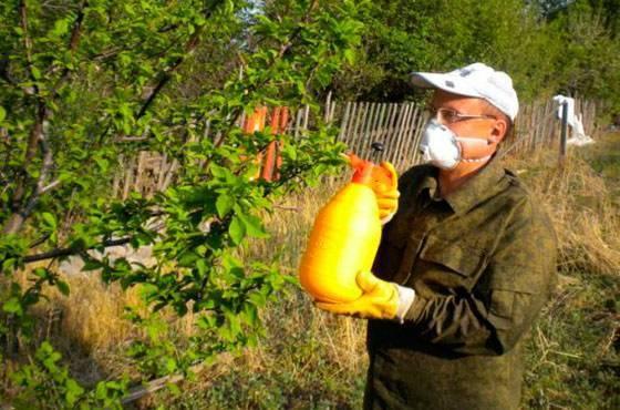Чем обработать сливу от тли, как избавиться от насекомых навсегда?