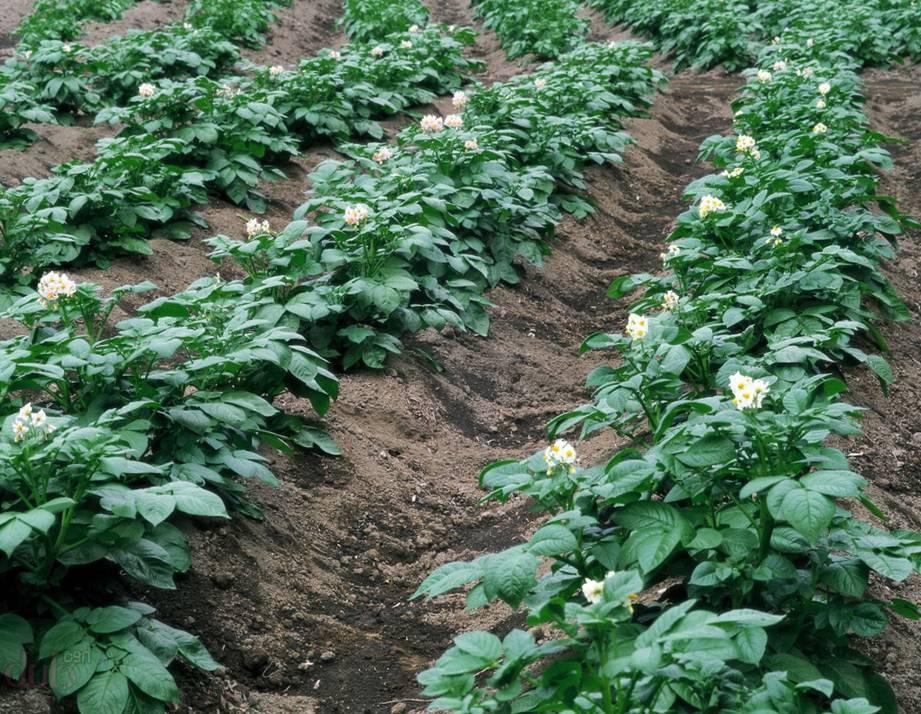 Эксперты рассказали, какую частую ошибку совершают даже бывалые дачники при посадке картофеля