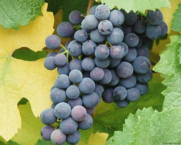 Виноград альфа: описание сорта, фото, посадка и уход, отзывы