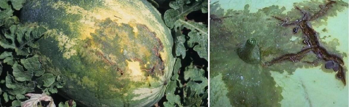 Особенности выращивания арбузов на урале, в том числе в открытом грунте, а также какие сорта выбрать для данного региона