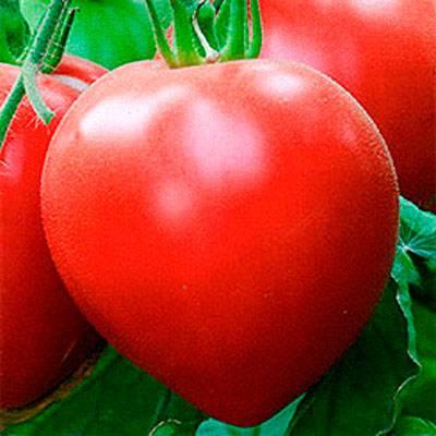 Крупный раннеспелый томат: описание гибрида розовый спам f1, агротехника, отзывы